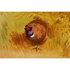 A Cock Pheasant