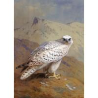A Greenland or Gyr Falcon