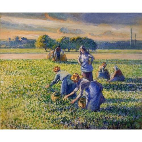 Picking Peas 2