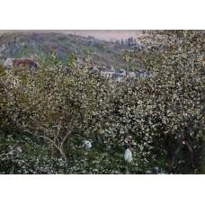 Vetheuil Flowering Plum Trees