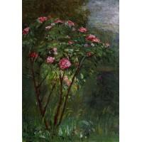 Rose Bush in Flower