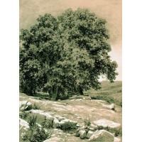 Crimean nut tree 1884