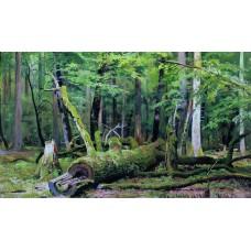 Cut down oak in the bialowiezka forest 1892
