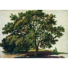 Oak 1889