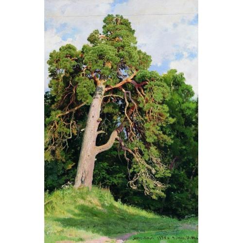 Pine 1892