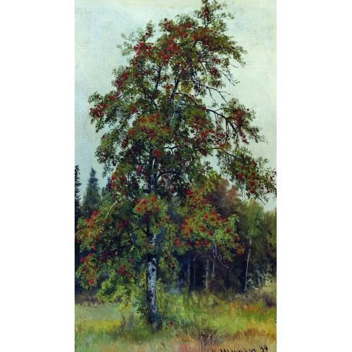Rowan 1892