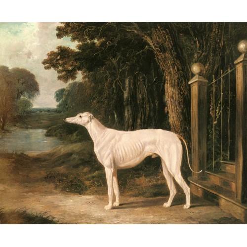 Vandeau A White Greyhound