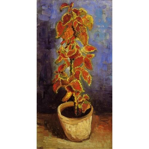 Coleus Plant in a Flower Pot